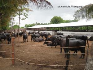 DairyFarmifMrKumkule_Wajegoan_001