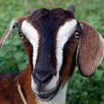 Goat_VetHelpline