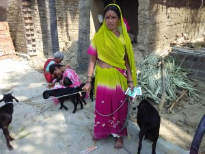 Fig1: Rural goat husbandry in India by small farmers
