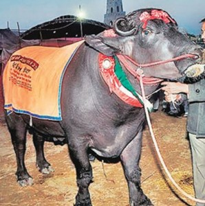 Raju - Another award winning Murrah buffalo bull ( Source: India Today )