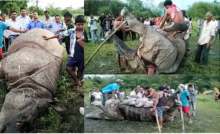 Glimpse of PM conducted on Rhino in field condition by Dr. Sanjeeb Dutta